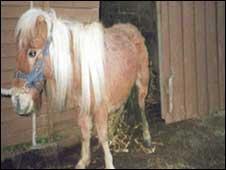 Daisy the pony before rescue