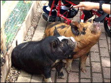 Snuffles and Anna, two Kune Kune pigs