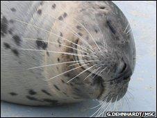 seal (G.Dehnhardt/MSC)