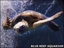 A generic picture of a loggerhead turtle (Blue Reef Aquarium)
