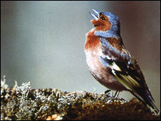 Chaffinch in song (Courtesy: Henrik Brumm)