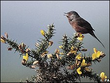 Dartford warbler, picture courtesy of RSPB