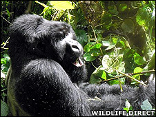 Mountain gorilla (Image: WildlifeDirect)