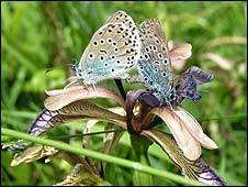 Large blue butterfly mating on an iris - Pic:Emma Daniel