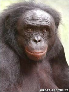 Kanzi, a bonobo chimp (Image: Great Ape Trust)