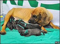 La madre portadora con los cinco cachorros clonados de Booger