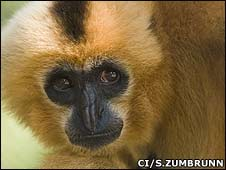 Yellow cheeked crested gibbon (Image: Conservation International/Sterling Zumbrunn)