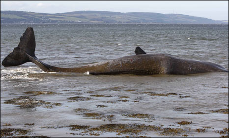 Sperm whale in Inner Moray Firth. Pic: copyright WDCS/Charlie Phillips