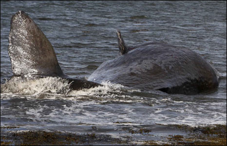 Sperm whale. Pic: WDCS/Charlie Phillips