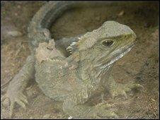 A tuatara (Image: Phillip Capper)