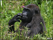 Western lowland gorilla (WCS)