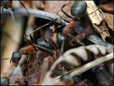 Wood ants, BBC