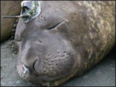 Rudolph, a tagged elephant seal (SMRU)