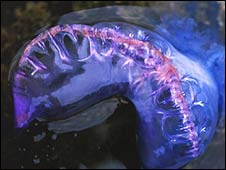 Portuguese man-of-war found in Dorset (Pic:  Wildlife Trusts/PA)