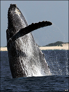 Humpback whale (Image: AP)
