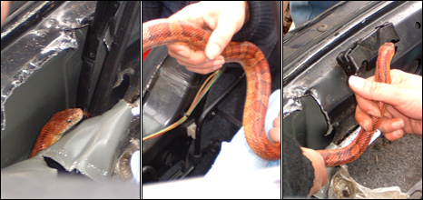 The snake in the car/Pic: Lothian and Borders Police