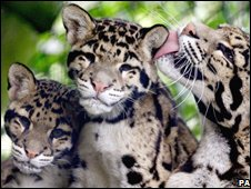 Clouded leopards at Howletts