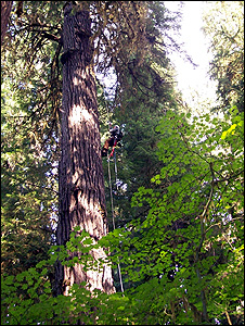 Researcher climbing a Douglas-fir
