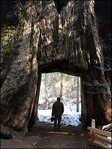 Man walking through a redwood (Image: BBC)