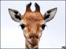 Baby giraffe. File pic.
