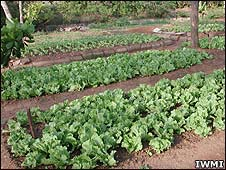A cabbage patch, irrigated with wastewater (Image: IWMI)