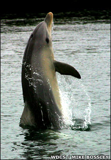 Tail-walking dolphin