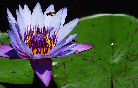 Bee flying into a purple lily flower on of the small lakes on Mafia Island, Tanzania [Photo: Leejiah Dorward]