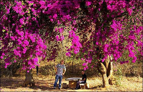 Purple flowered trees in Mpumalanga, South Africa [Photo: Stefan Kuna]