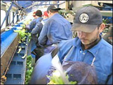 Migrant workers picking celery