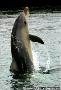 Delfín caminando sobre su cola