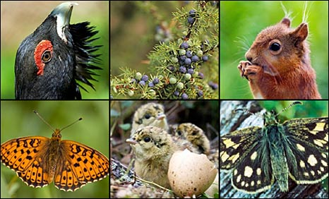 Black grouse, juniper berries, red squirrel, pearl bordered fritillary, capercaillie and chequered skipper