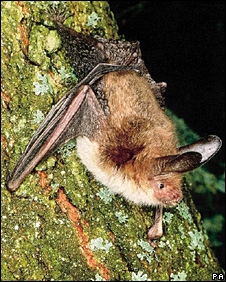 Bechstein's bat. Picture: Frank Greenaway/The Vincent Wildlife Trust/PA Wire