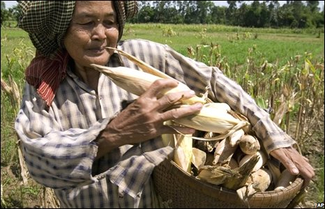 Cambodian woman harvesting corn