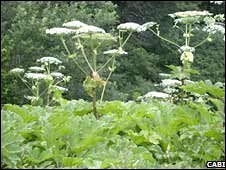 Giant hogweed (Cabi)