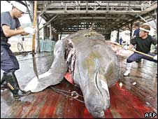 Fishermen slaughter a bottlenose whale at the Wada port in Minami-Boso city, Chiba prefecture, east of Tokyo, on 25 June 2008