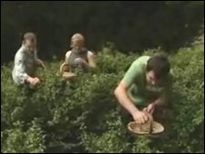 Tea growers in Cornwall