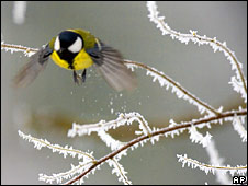 Finch on frost-covered bush