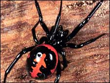 http://newsimg.bbc.co.uk/media/images/44948000/jpg/_44948319_steatoda_paykulliana_hine.jpg