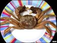 Chinese mitten crab