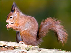 Red squirrel (SPL)