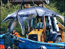 Dead whale calf is loaded onto a lorry