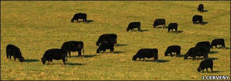 Cattle (J Cerveny)