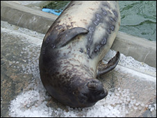 Sahara the Arctic hooded seal rolling on ice