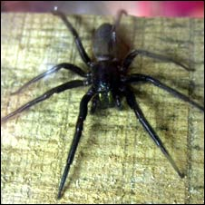 Tube web spider (S.Hine)