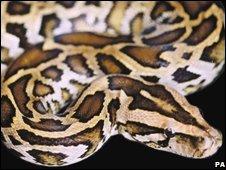 Burmese python, file pic
