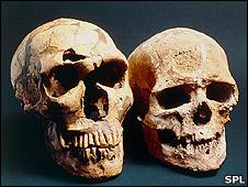 Neanderthal (l) and Cro-Magnon (r) skulls (SPL)
