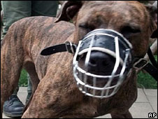A muzzled pit bull terrier