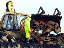 Tractor removing cow carcasses