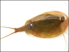 Tadpole shrimp - Image PA/WWT