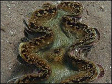 New giant clam - Tridacna costata